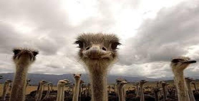 A boiada e o avestruz, por Francisco Celso Calmon